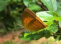 Loxura atymnus - Yamfly 19.JPG