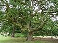 Lucombe Oak, Dyffryn Cardens - geograph.org.uk - 1407644.jpg