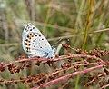 Lupine Blue Butterfly (8435293133).jpg