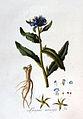 Lycopsis arvensis — Flora Batava — Volume v2.jpg