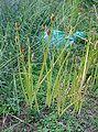 Lycoris radiata3.jpg