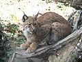 120px-Lynx.lynx-ZOO.Olomouc1.jpg