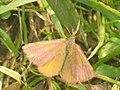 Lythria cruentaria (27085253858).jpg