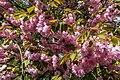 Münster, Park Sentmaring, Japanische Blütenkirsche -- 2015 -- 5711.jpg