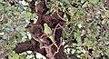 Ma - Psittacula krameri - 1.jpg