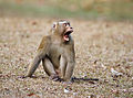 Macaca leonina - Khao Yai.jpg