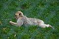 Macaque (5958107857).jpg