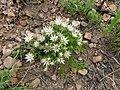 Macledium spinosum04.jpg