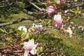 Magnolia x soulangiana Verbanica 2zz.jpg