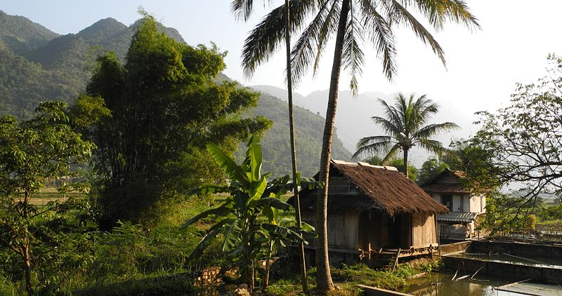 Mai Chau - Haus im Reisfeld, Palmen.jpg