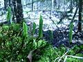Maianthemum canadense, Sault Ste Marie 2.JPG