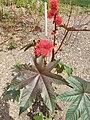 Malpighiales - Ricinus communis - 1.jpg