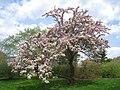 Malus hupehensis, Arnold Arboretum - IMG 6008.JPG
