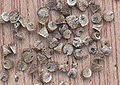 Malva neglecta seeds, Klein kaasjeskruid zaden (1).jpg