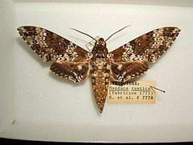 Manduca rustica adult male sjh.JPG