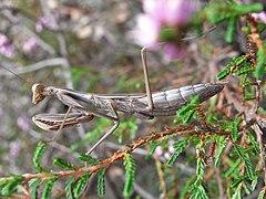Mantis religiosa subadult.jpg