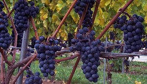 Hybrid grape - The hybrid grape variety Marechal Foch.