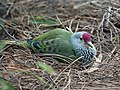 Mariana Fruit Dove RWD.jpg