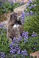 Marmota caligata (Hoary Marmot).jpg