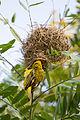 Masked weaver - Queen Elizabeth National Park, Uganda (4).jpg