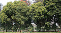 Maulsari (Mimusops elengi) trees in Kolkata W IMG 2897.jpg