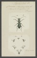 Megacephala - Print - Iconographia Zoologica - Special Collections University of Amsterdam - UBAINV0274 009 01 02 0003.tif