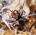 Megascolia bidens - Flickr - gailhampshire (1).jpg