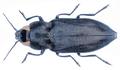 Melanophila cuspidata (Klug, 1829).png