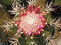 Melocactus curvispinus 01 ies.jpg