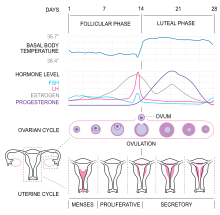 MenstrualCycle2 en.svg