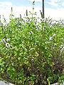 Mentha spicata1.jpg