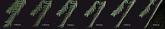 Prosopis velutina - Composite image of velvet mesquite leaves folding up in the evening in response to decreasing light levels