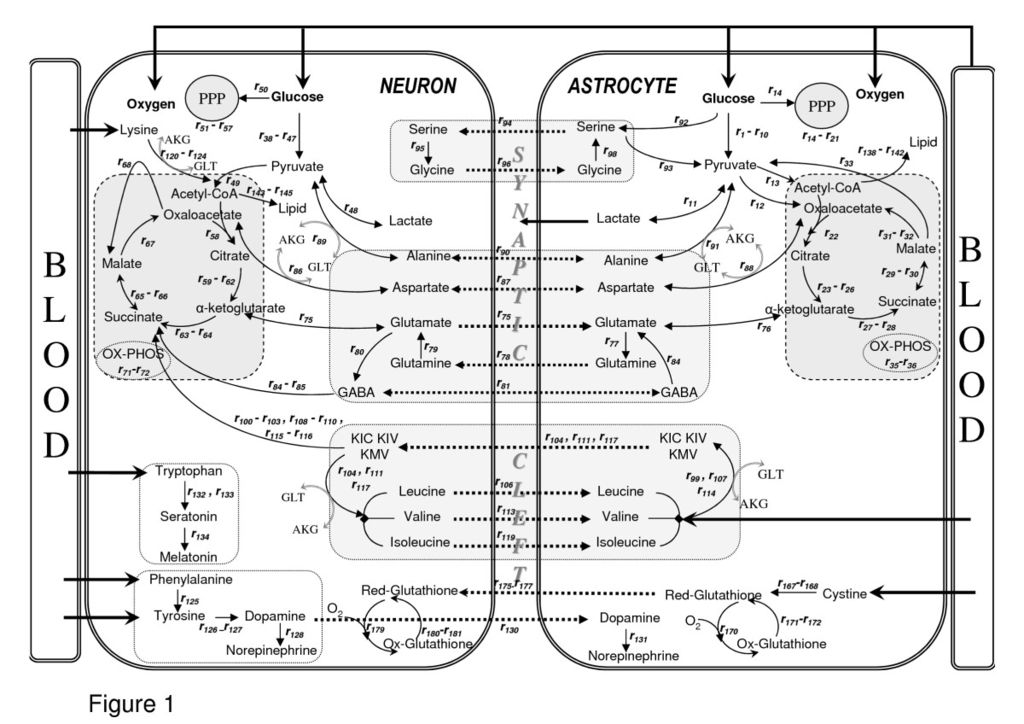 Glucose Chart: Metabolic interactions between astrocytes and neurons with ,Chart