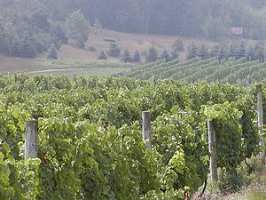 Image of a Chardonnay vineyard in Michigan. (C...