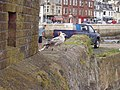 Millport and young gull - geograph.org.uk - 12396.jpg