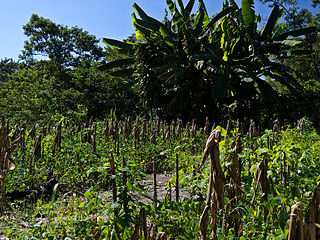 Typical Central American milpa