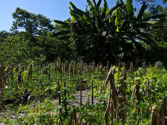 Milpa - A typical modern Central American Milpa. The corn stalks have been bent and left to dry with cobs still on, for other crops, such as beans, to be planted. (Note: the banana plants in the background are not native, but are now a common part of modern Central American agriculture)