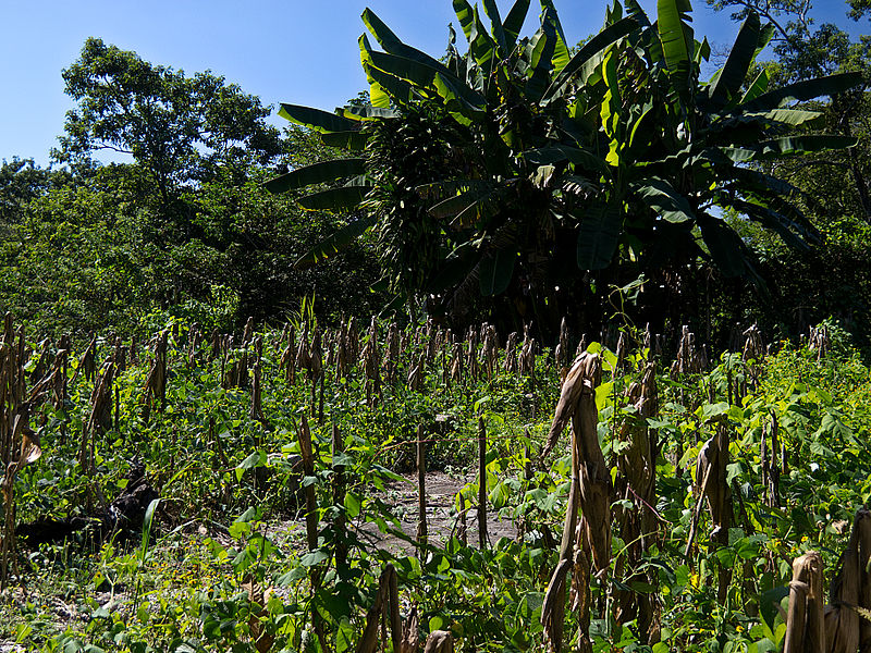 Yucatan-jungle-Mayan-agriculture-corn-maze