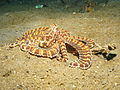 Mimic Octopus3.jpg