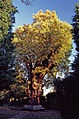 Minchenden Oak, Garden of Remembrance, Waterfall Road, N14. - geograph.org.uk - 327201.jpg