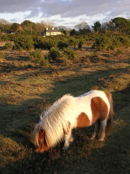 File:Miniature pony grazing on Setley Plain, New Forest - geograph.org.uk - 98640.jpg