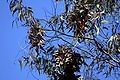Monarch butterflies in Santa Cruz-17.jpg