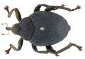 Mononychus punctumalbum (Herbst, 1784) (10307285086).png