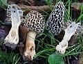 Morchella esculentoides M.Kuo, Dewsbury, Moncalvo & S.L.Stephenson 325261.jpg