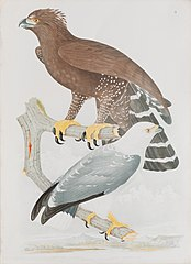 Morphnus braccatus - Buteo lacernulatus