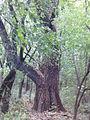 Morysin - drzewo rośnie we wschodniej części rezerwatu.jpg
