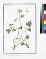 Moscattelina foliis fumariæ bulbosæ (NYPL b14444147-1125099).tiff