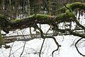 Moss covered tree near Roetgen.jpg