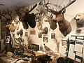 Mounted Animal collection at Lac qui Parle History Center, Madison, MN.jpg