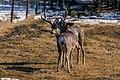Mule Deers (47441558742).jpg